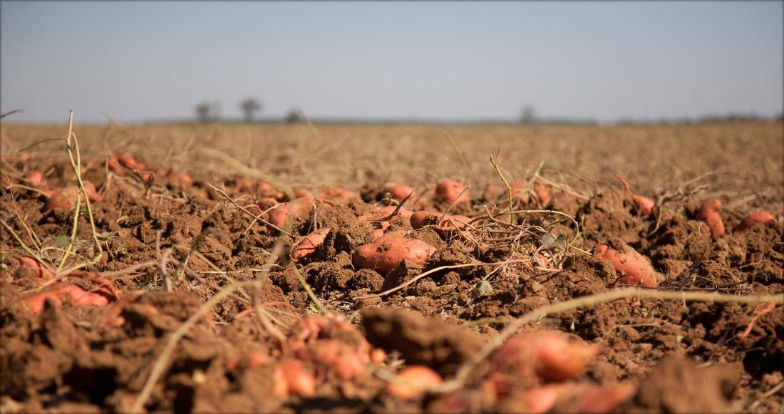 potatoe growing field  AngielskoPolski Słownik  Glosbe